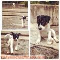 Cachorros Jack Rusell Terrier de venta
