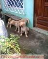 cachorros-golden-retriver-1.jpg