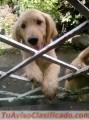 cachorros-golden-retriver-2.jpg