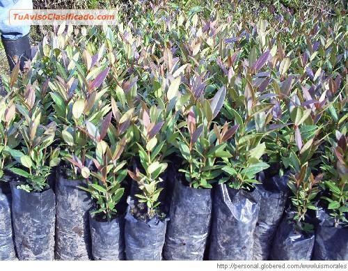 Venta de plantas de citricos injertos de toda variedad for Plantas forestales